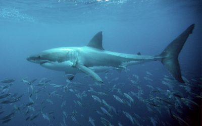 Grand requin blanc 1