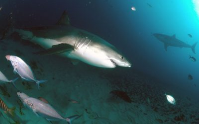 Grand requin blanc 10