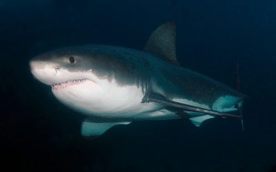 Grand requin blanc 11