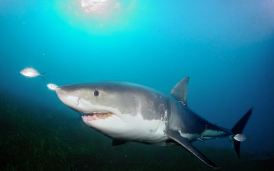 Grand requin blanc 14