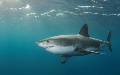 Grand requin blanc 16