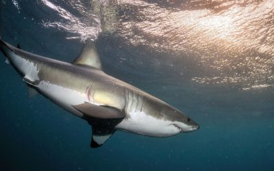 Grand requin blanc 17