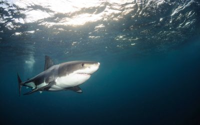 Grand requin blanc 18