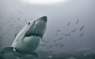 Grand requin blanc 19