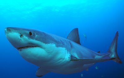 Grand requin blanc 2