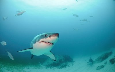 Grand requin blanc 21