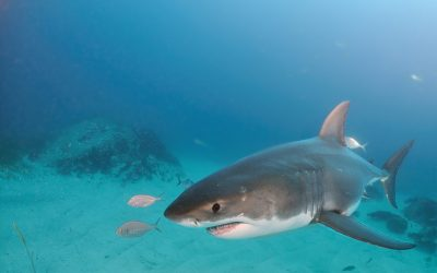 Grand requin blanc 23