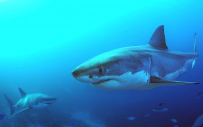 Grand requin blanc 3