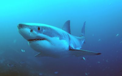 Grand requin blanc 4