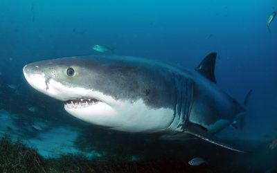 Grand requin blanc 7