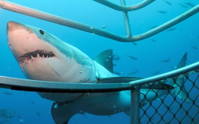 Grand requin blanc et cage 13