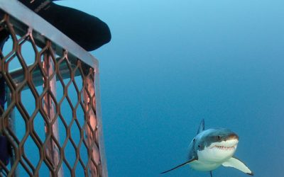 Grand requin blanc et cage 14