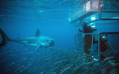 Grand requin blanc et cage 21