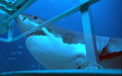 Grand requin blanc et cage 22