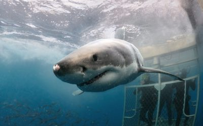 Grand requin blanc et cage 25
