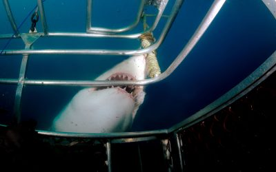 Grand requin blanc et cage 3