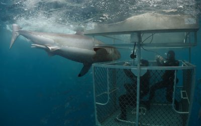 Grand requin blanc et cage 5