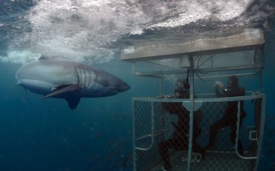 Grand requin blanc et cage 6