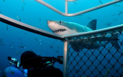 Grand requin blanc et cage 7