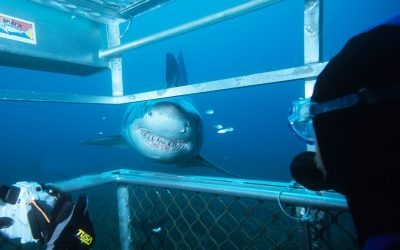 Grand requin blanc et cage 9