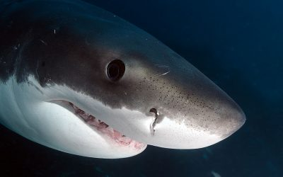 Gueule grand requin blanc 2
