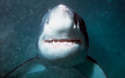Gueule grand requin blanc 3