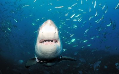 Gueule grand requin blanc 6